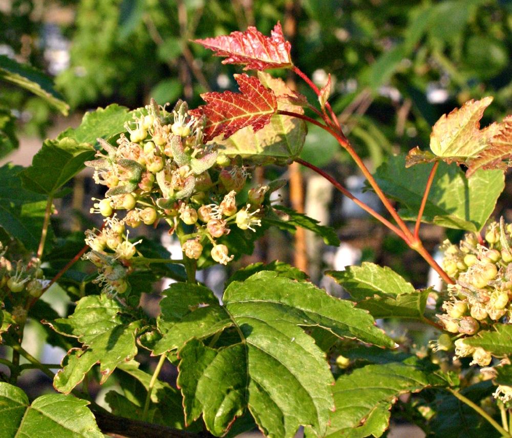 Acer ginnala flower