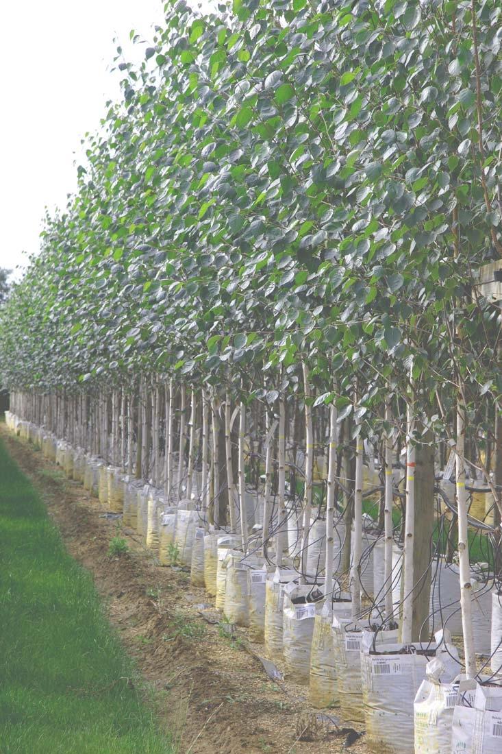 Betula utilis Jacquemontii at barcham trees