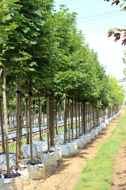 Acer platanoides Cleveland at barcham trees