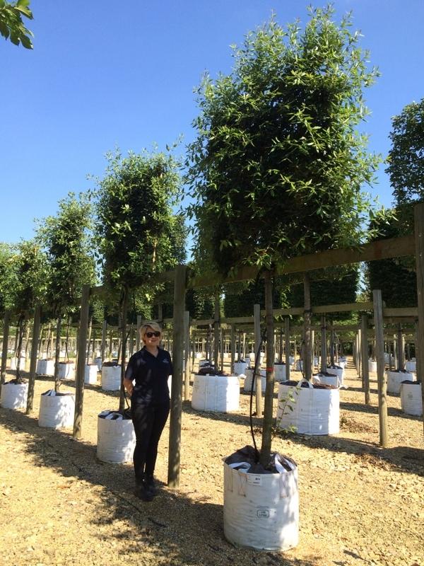 Quercus ilex Pleached
