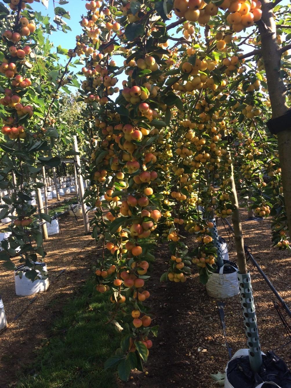 Malus Butterball fruits