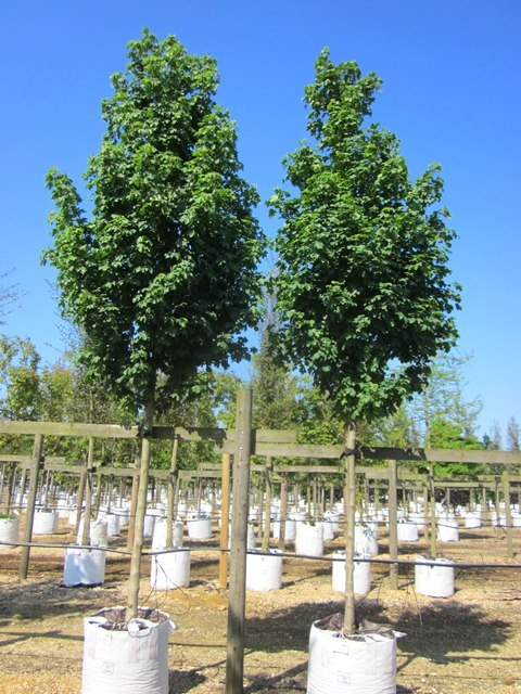 Acer campestre Arends at barcham trees