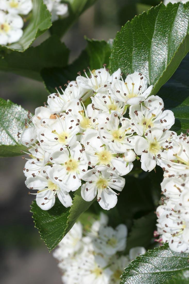 white flower of Crataegus x prunifolia
