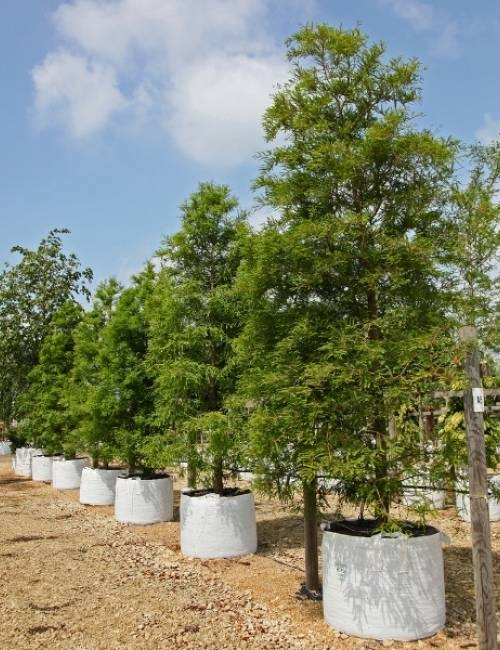 Sequoia sempervirens in a row on Barcham Trees nursery
