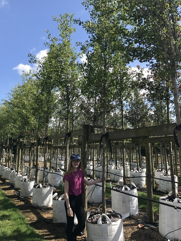 Ginkgo Biloba Princeton Sentry a Barcham Trees