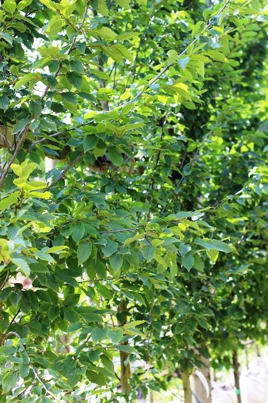 foliage of  Carpinus betulus Frans Fontaine