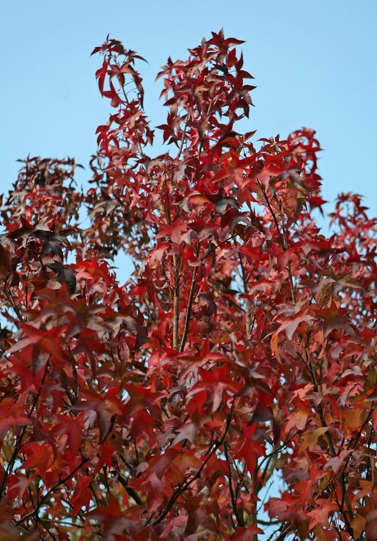 Autumn colour of Liquidambar styraciflua (Pleached)