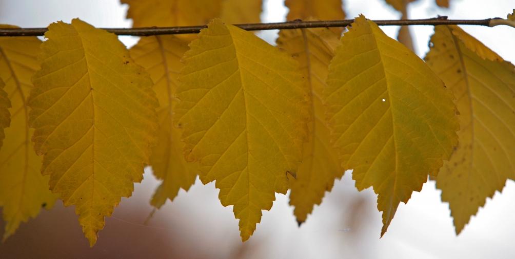 The golden yellow autumn foliage of Ulmus Clusius