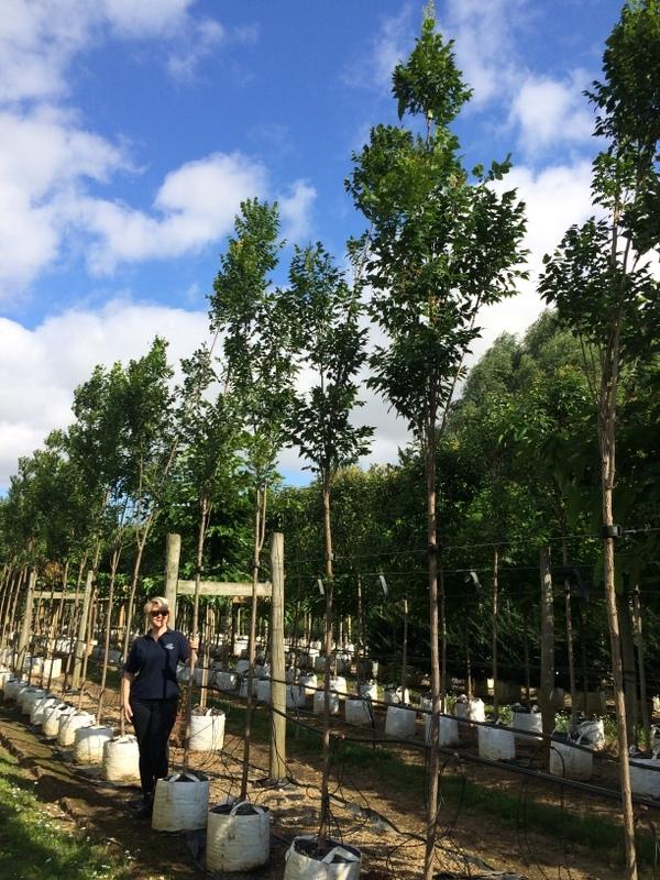 Koelreuteria paniculata Fastigiata at Barcham Treesa