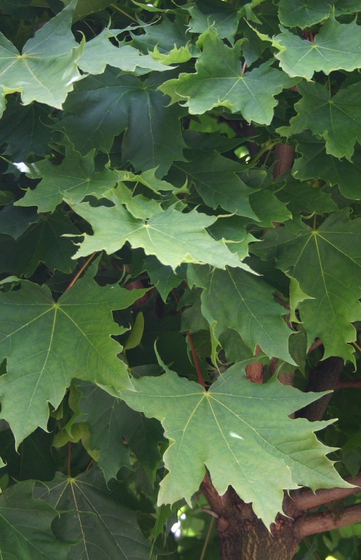 Acer platanoides Globosum foliage
