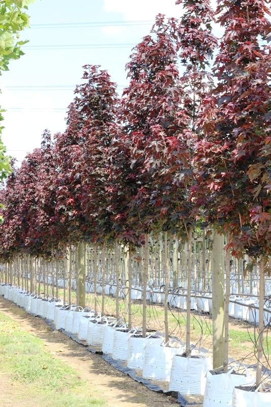 Acer platanoides Crimson Sentry on the barcham trees nursery
