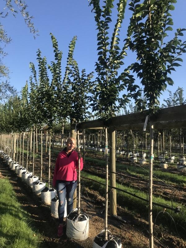 12/14cm girth Ulmus Clusius on Barcham Trees nursery to scale