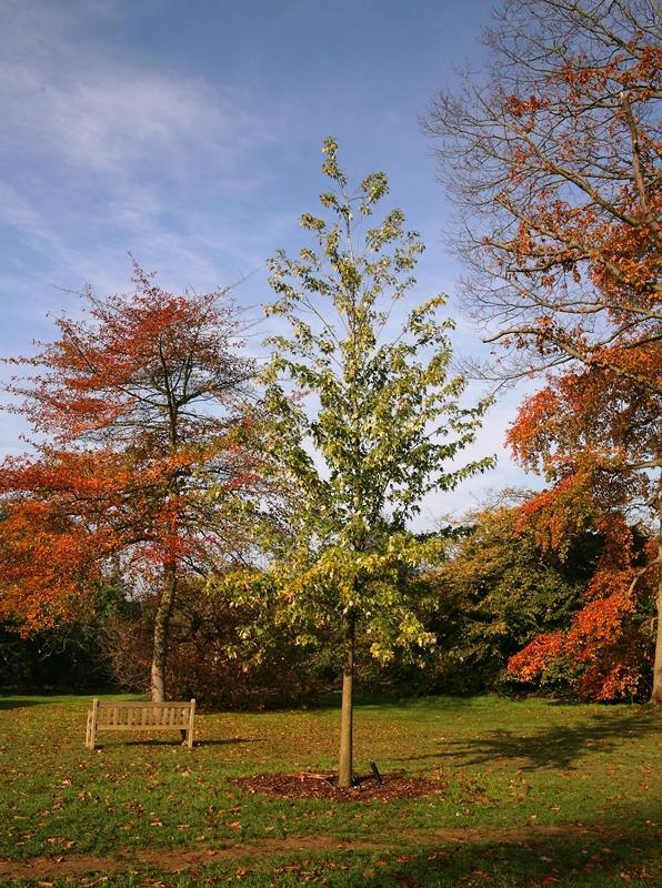 mature Acer saccharinum Pyramidale