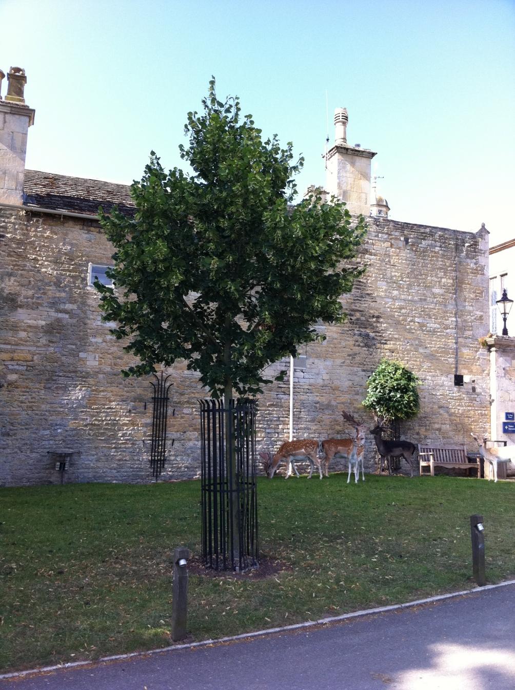 Tilia platyphyllos Rubra at Burleigh House, Stamford, Lincolnshire