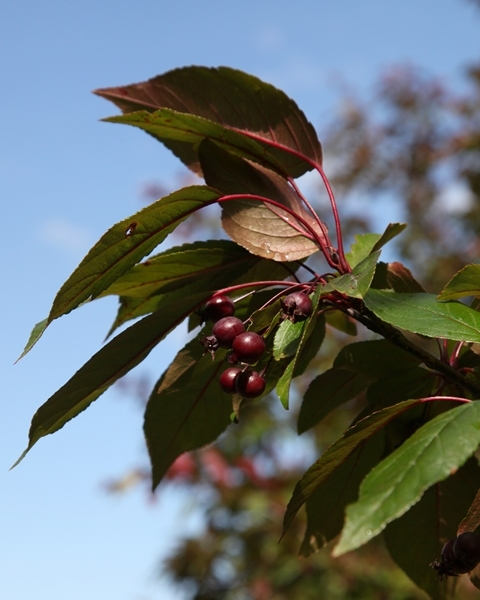 Foliage and berries of Malus Director Moerland