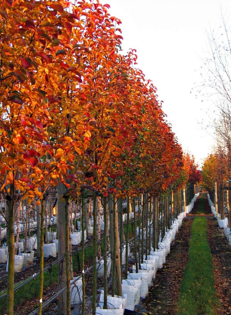 stunning autumn colour of Pyrus calleryana Redspire