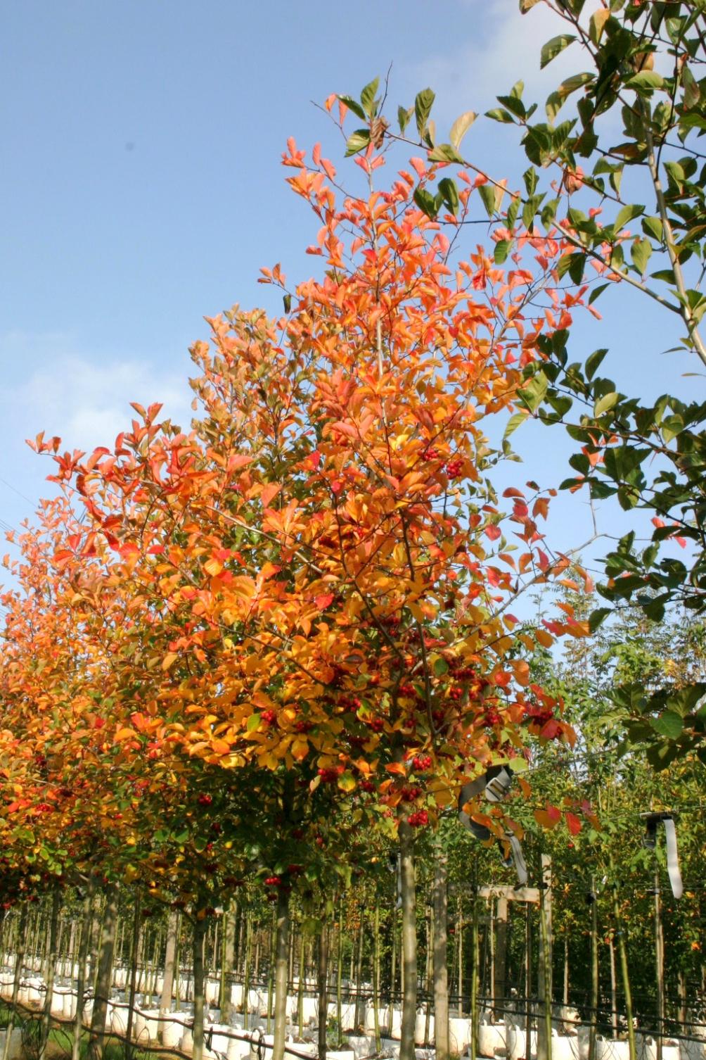 autumn colour of   Crataegus x prunifolia Splendens