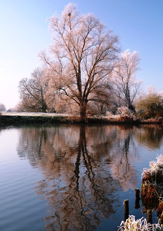 Mature Salix alba in winter