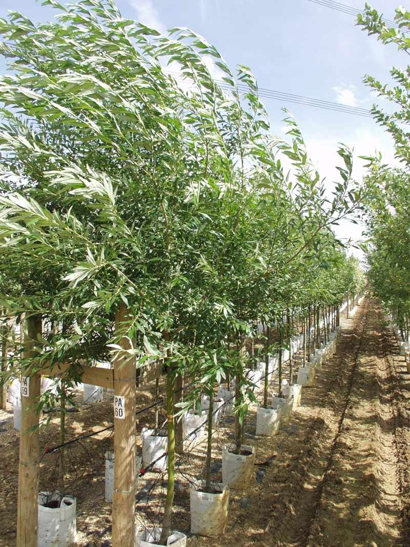 Row of Salix caprea at Barcham Tress nursery