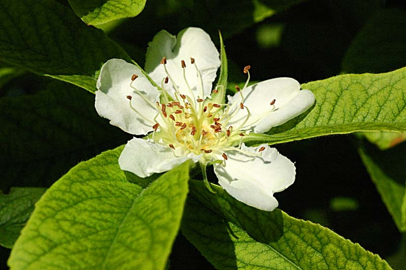 the flower of Mespilus germanica