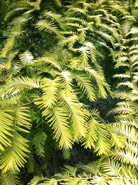 the golden yellow foliage of Metasequoia glyptostroboides Goldrush