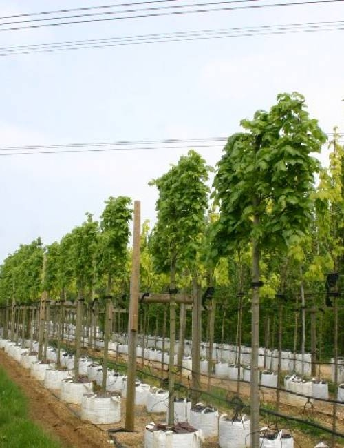 Tilia x euchlora Pleached on the Barcham Trees nursery