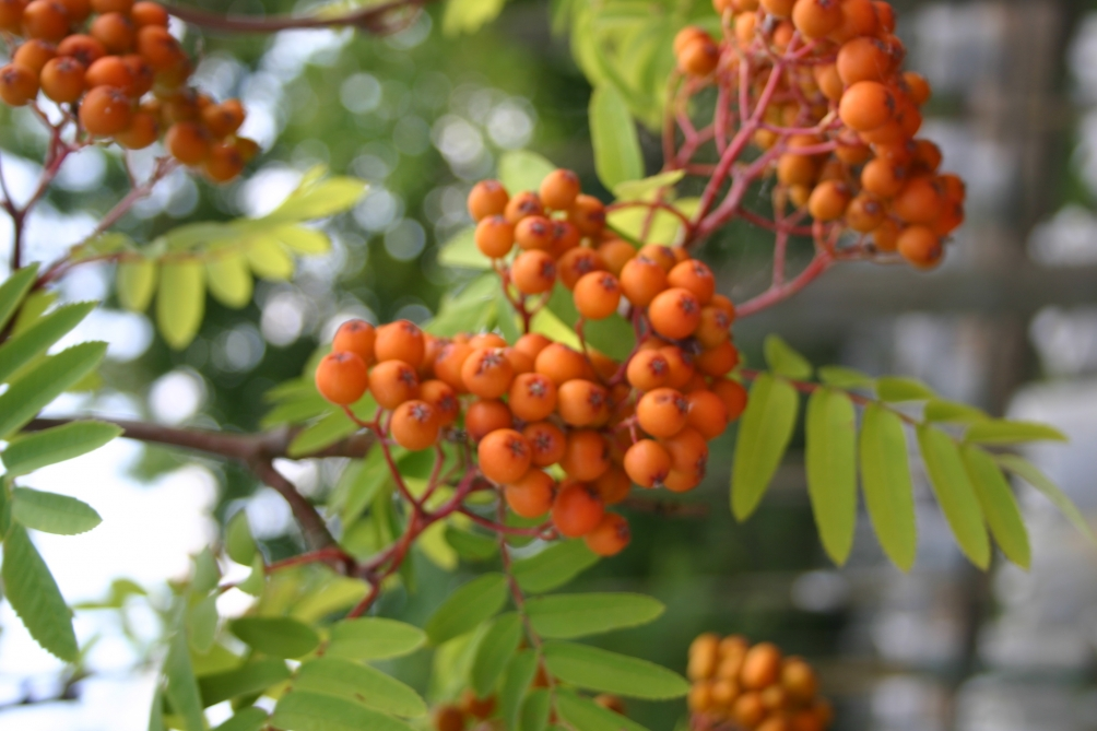 Sorbus aucuparia Edulis berries