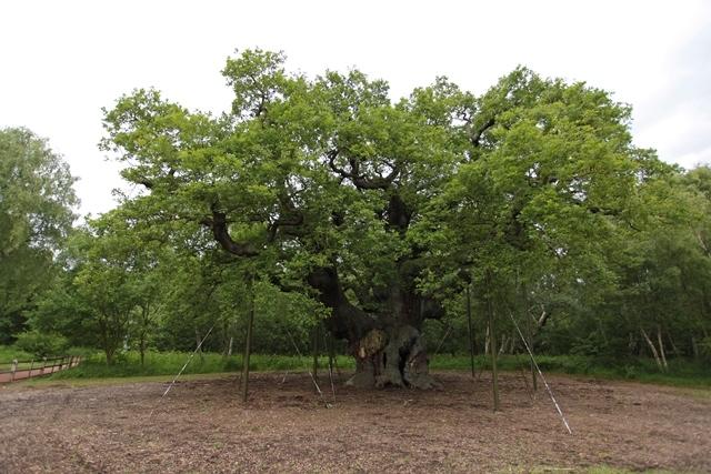 The major oak Sherwood