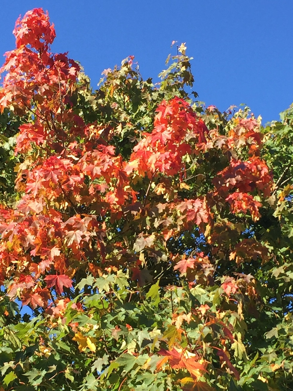 foliage of Acer platanoides Pacific Sunset in autumn
