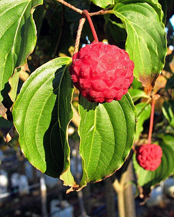 fruit of Cornus Kousa Chinensis