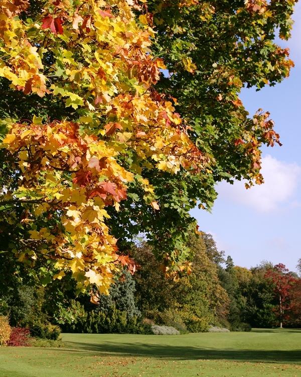 Autumn colour of Acer platanoides