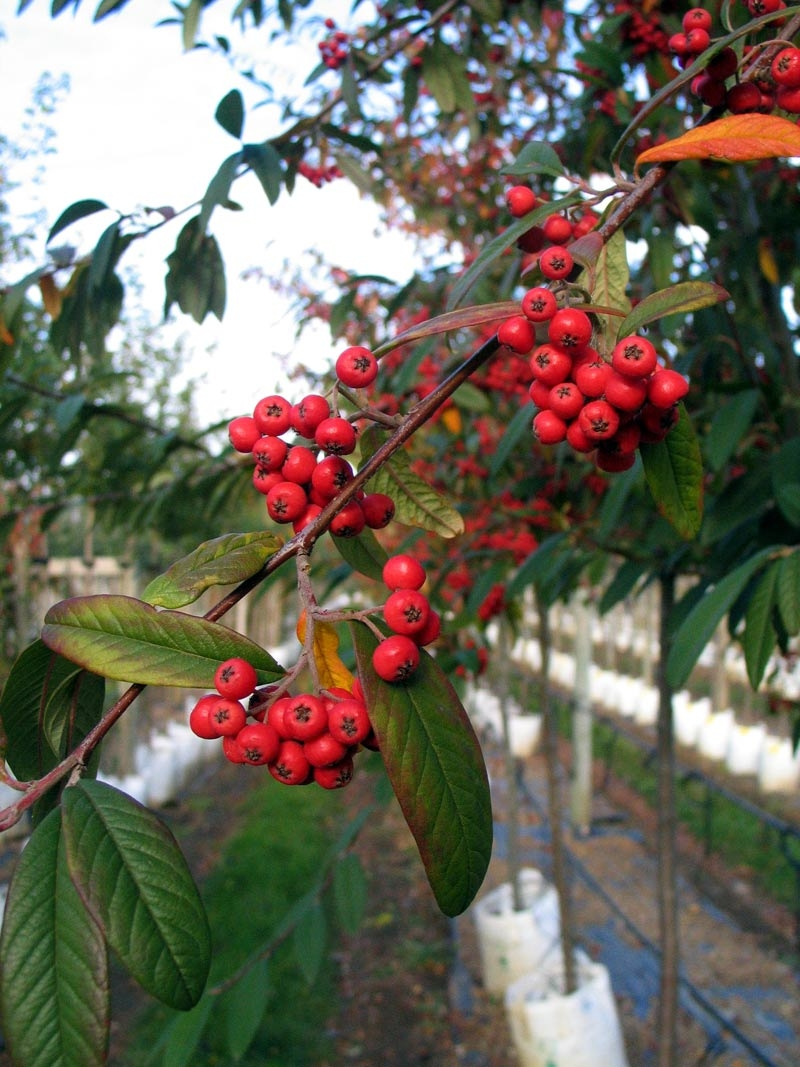 The red berries of Cotoneaster Cornubia
