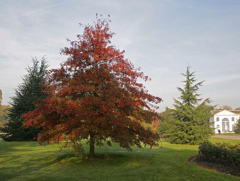 Mature specimen of Quercus coccinea in autumn