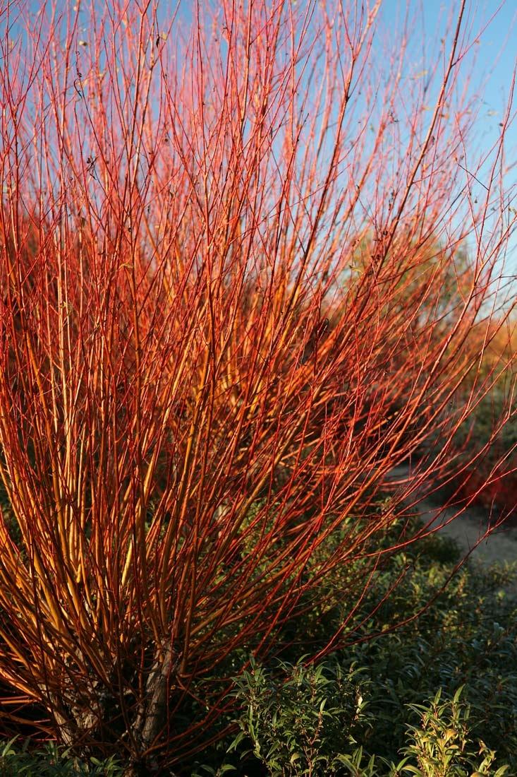 Bright red stems of Salix alba Chermesina in detail as a multi-stem specimen