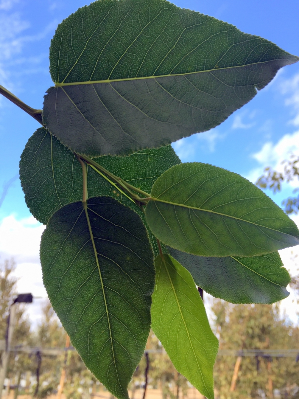 the leaves of Populus balsamifera