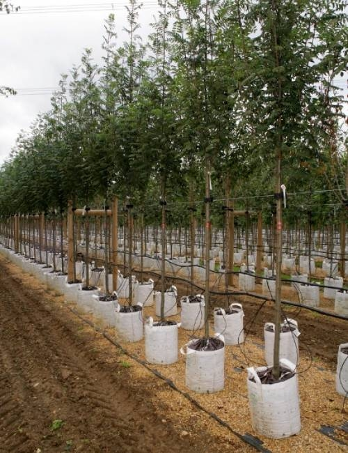 Row of Sorbus aucuparia Cardinal Royal on Barcham Trees nursery