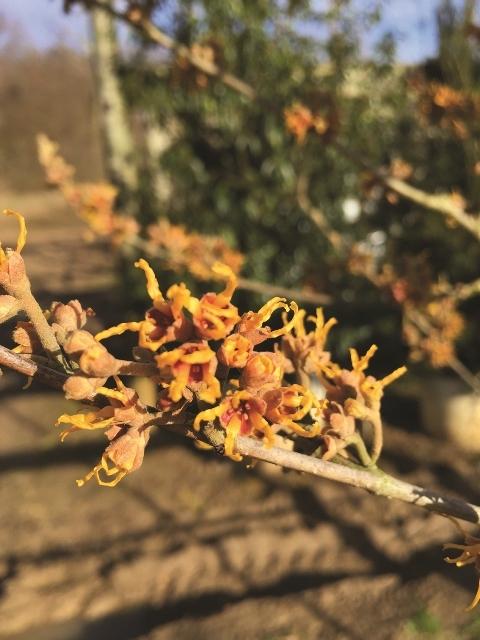 The orange/red flower of  Hamamelis x intermedia Jelena