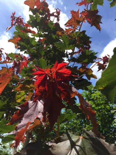 new growth of Acer platanoides Deborah