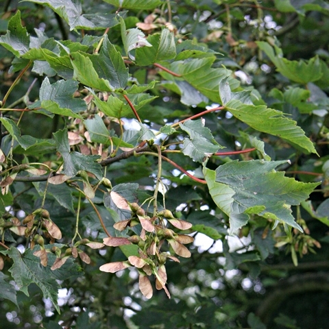 foliage of Acer pseudoplatanus Negenia