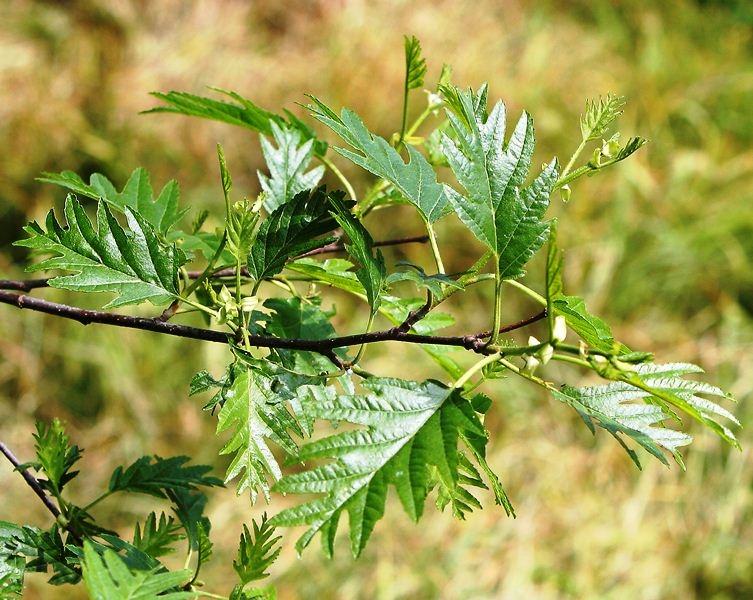 The cut leaf foliage of   Alnus glutinosa Laciniata