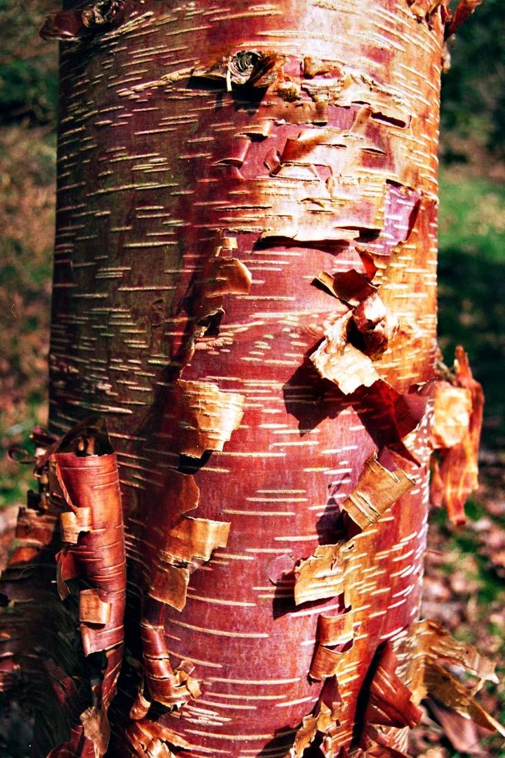 the peeling bark of Betula papyrifera