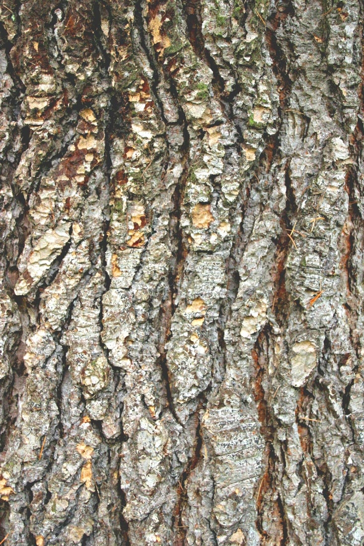 the bark of Cedrus libani