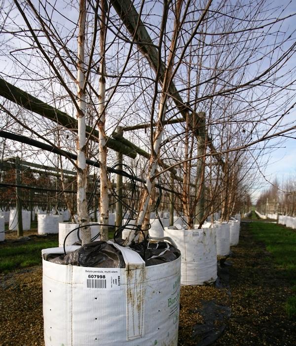 Betula pendula multi stem at barcham trees in winter