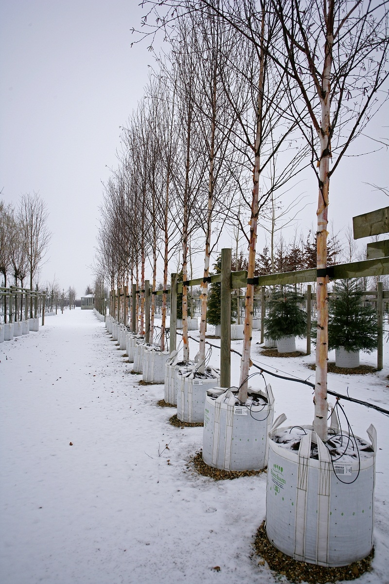 Betula albosinensis Fascination in winter