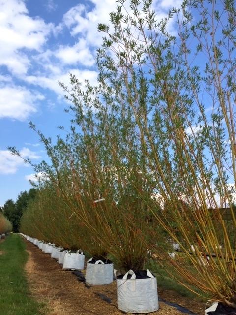Salix alba Chermesina multi-stem at barcham trees