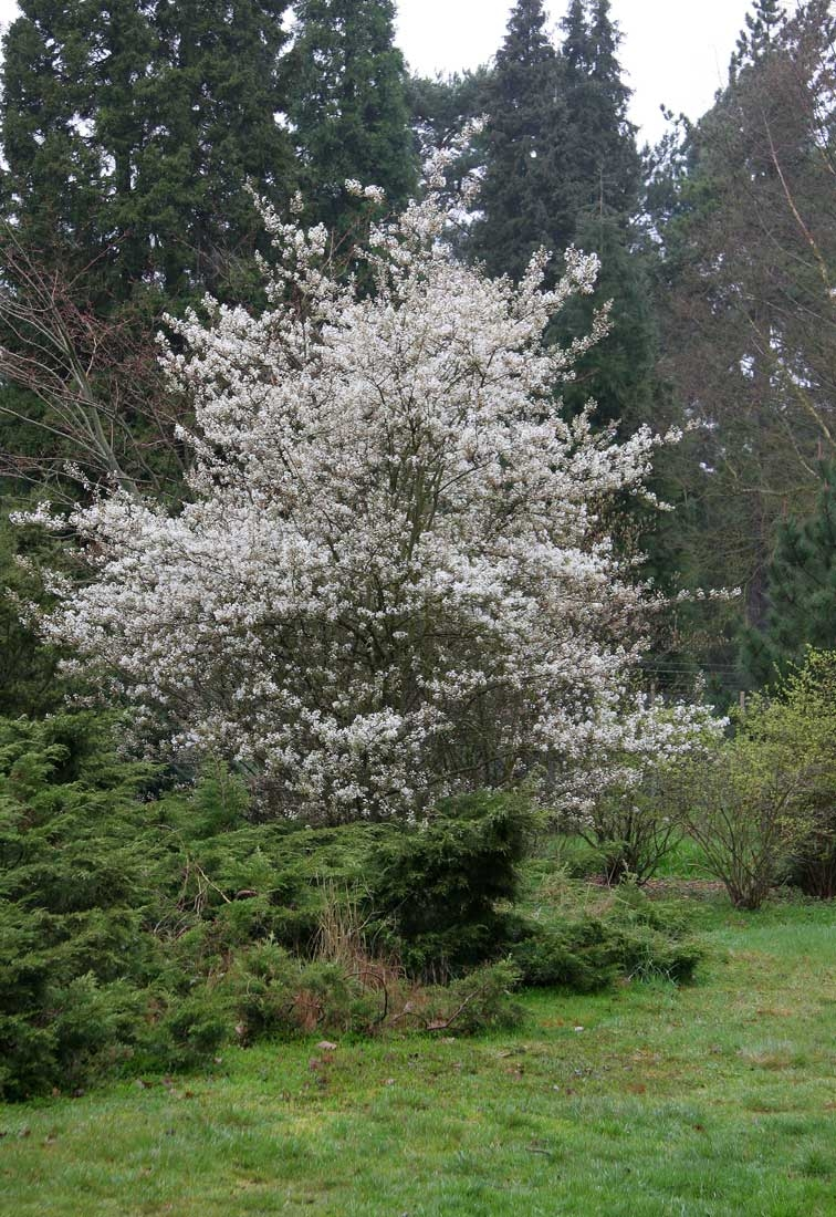 The profuse white flowers of  Amelanchier Ballerina
