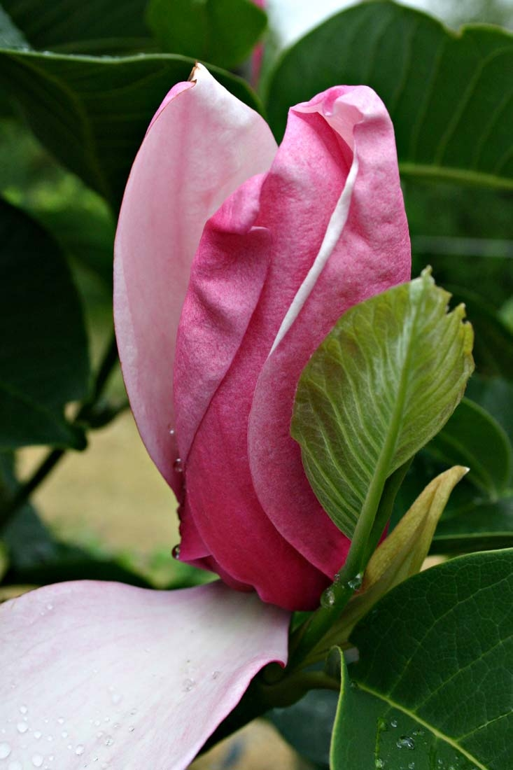 the beautiful pink flower of Magnolia Galaxy