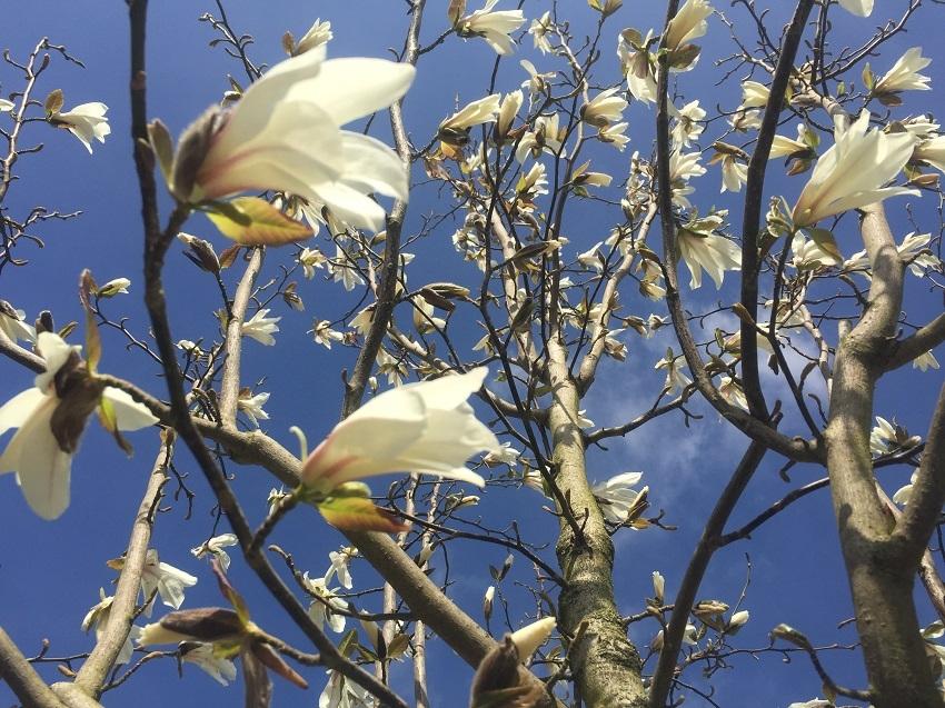 the white flowers of Magnolia kobus