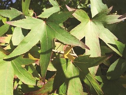 the leaves of Liquidambar styraciflua Slender Silhouette