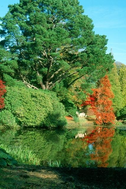 mature Pinus nigra Austriaca